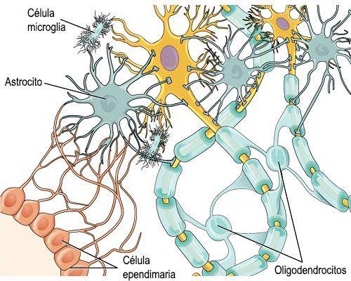 Células gliales1