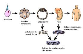 células somáticas