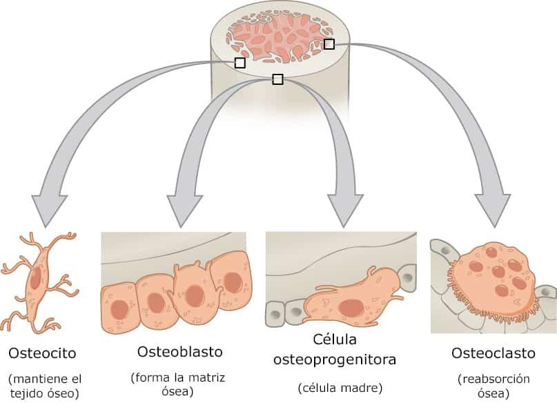 Estructura del tejido óseo