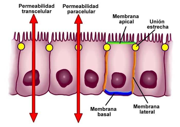 Tipos de epitelios