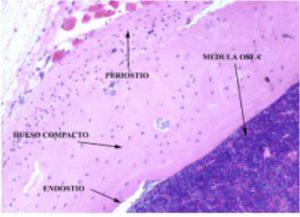 células osteoprogenitoras