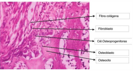 qué son células células osteoprogenitoras