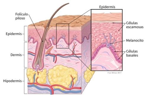 Células Basales